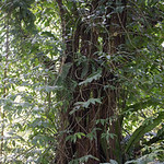 Ahwahn, Ficus tinctoria, an indigenous fig of Micronesia, growing at Sokehs Mountain, Pohndollap, Pohnpei, FSM